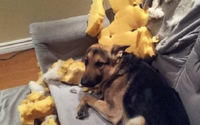 Собаки, которые очень любят шалить дома, 50 смешных фото