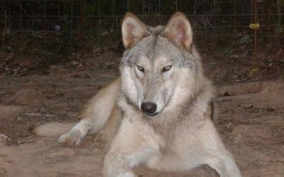 12 очень опасных пород собак, 24 фото