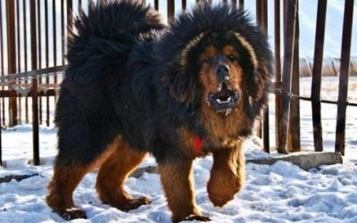 Самые необычные и редкие породы собак на Земле, 27 фото