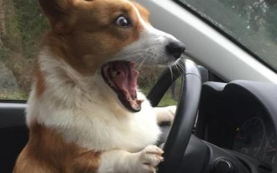 30 фотодоказательств того, что корги - самые смешные собаки в мире
